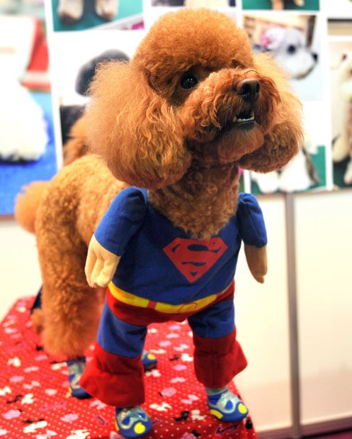 Mini Superdog - What's your kryptonite?