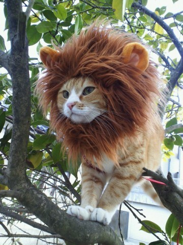 A cat dressed to look like Simba from Lion King