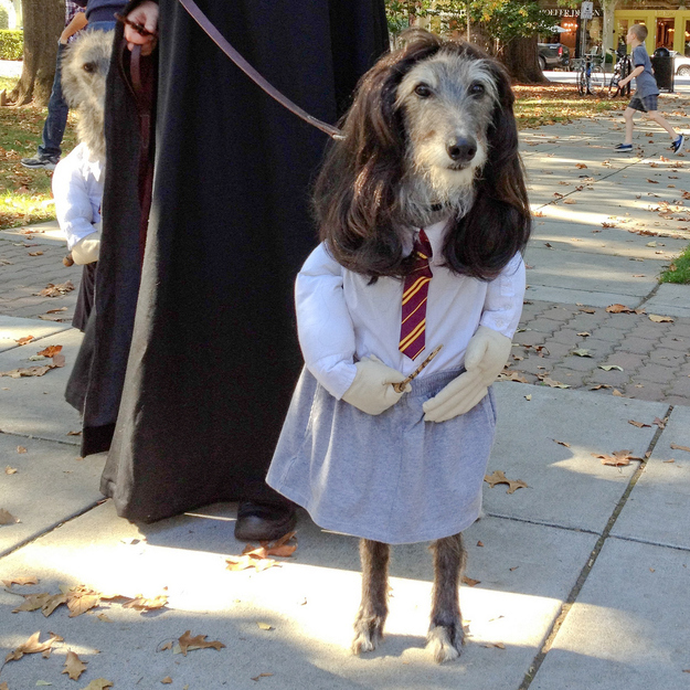 A dog dressed as Hermione from Harry Potter