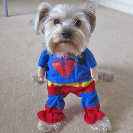 Superman dog cosplay
