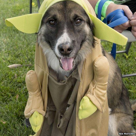 dopey-yoda-dog