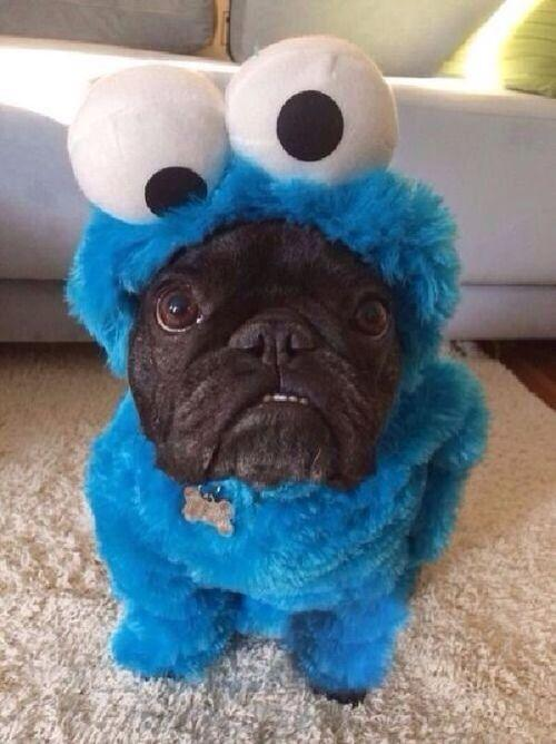 cookie-monster-pug