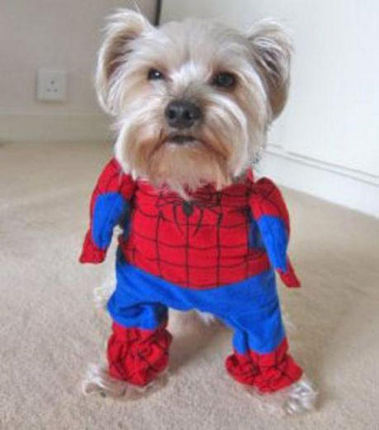 dog-dressed-like-spider-man