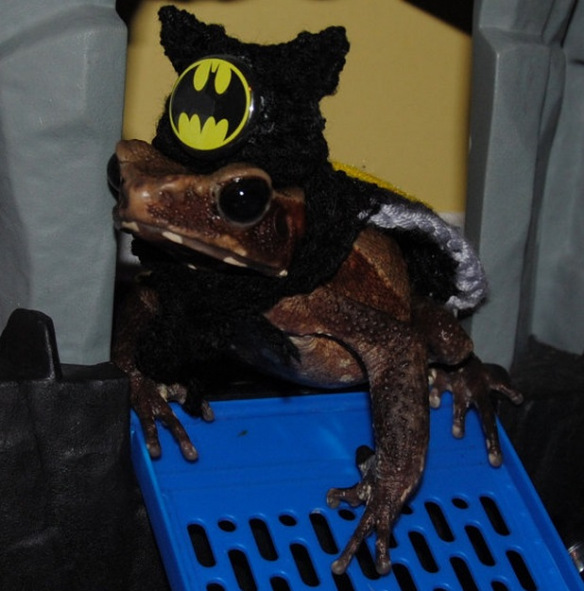 frog-dressed-as-batman