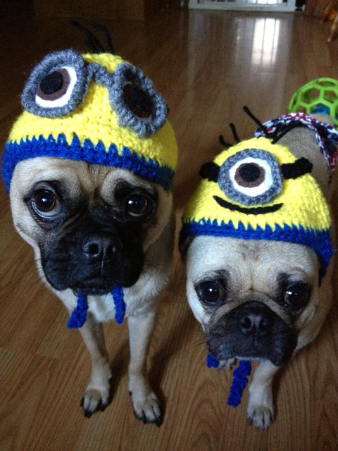pugs-in-minion-hats