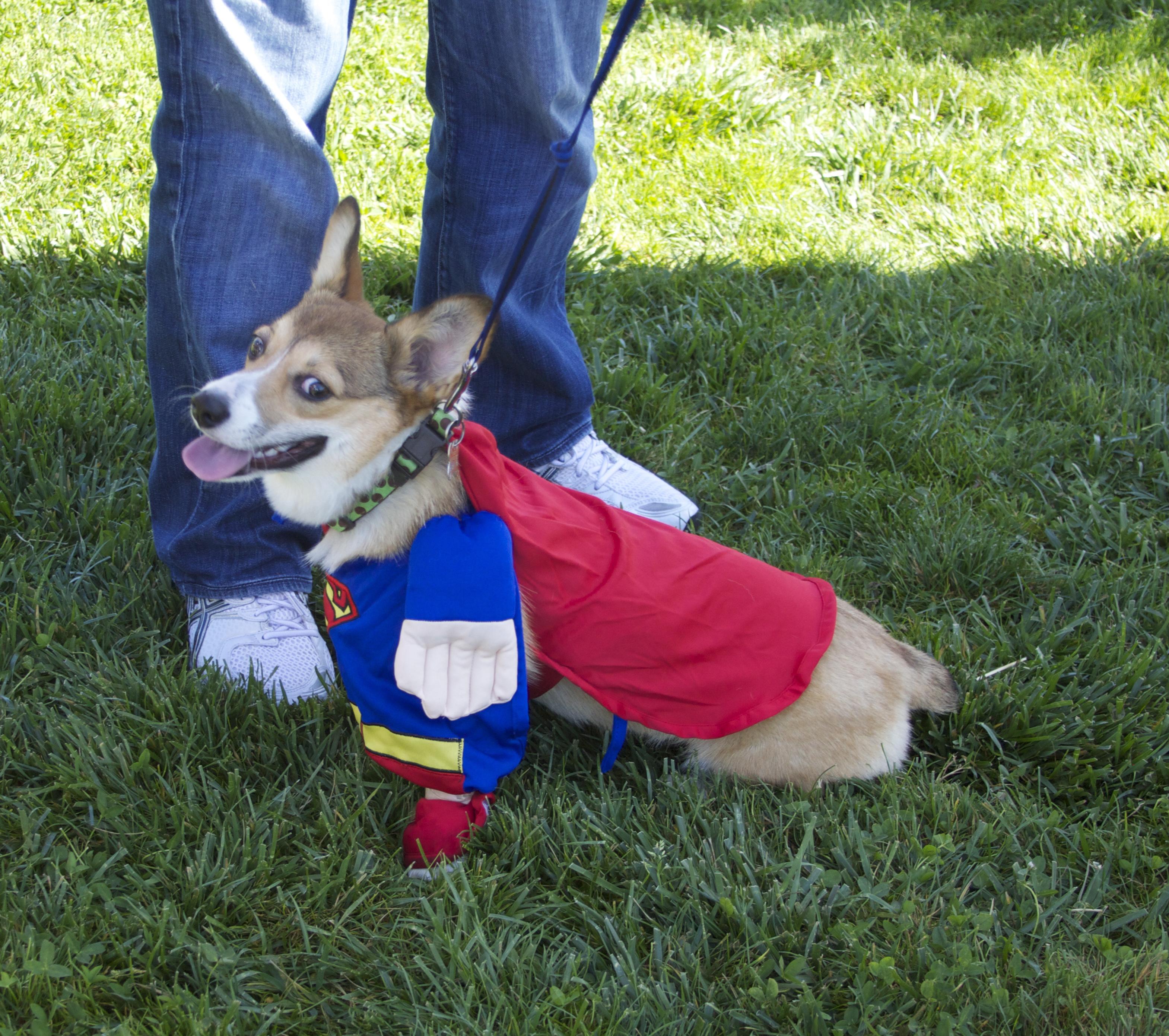 Superman Dog